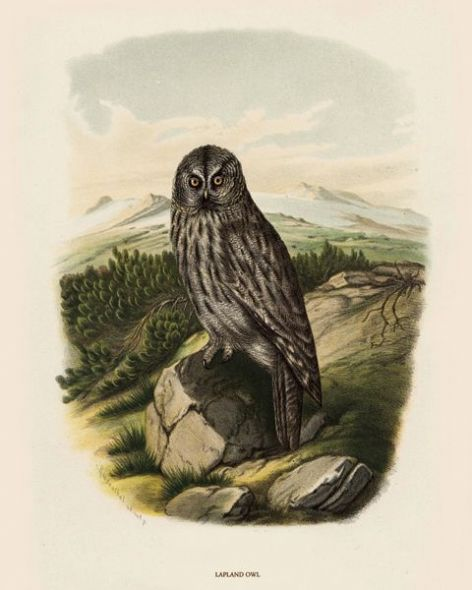 Fine Art Print of the Lapland Owl by O V Riesenthal (1876)
